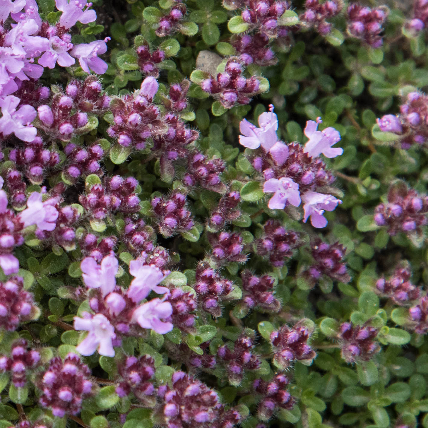 BRECKLAND THYME AND BROAD-LEAVED THYME